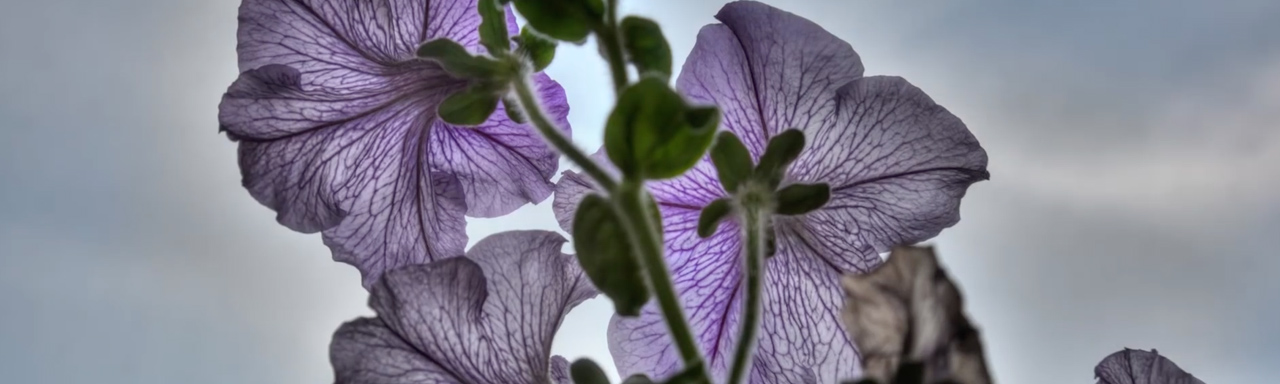 Back lit purple flowers